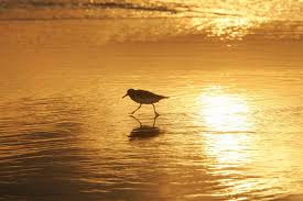 Sandpiper on beach at sunset