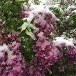When lilacs last in the dooryard did their best to bloom