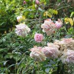 drooping_pink_roses_ii